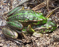 Growling Grass Frog on the Snowy River in Orbost